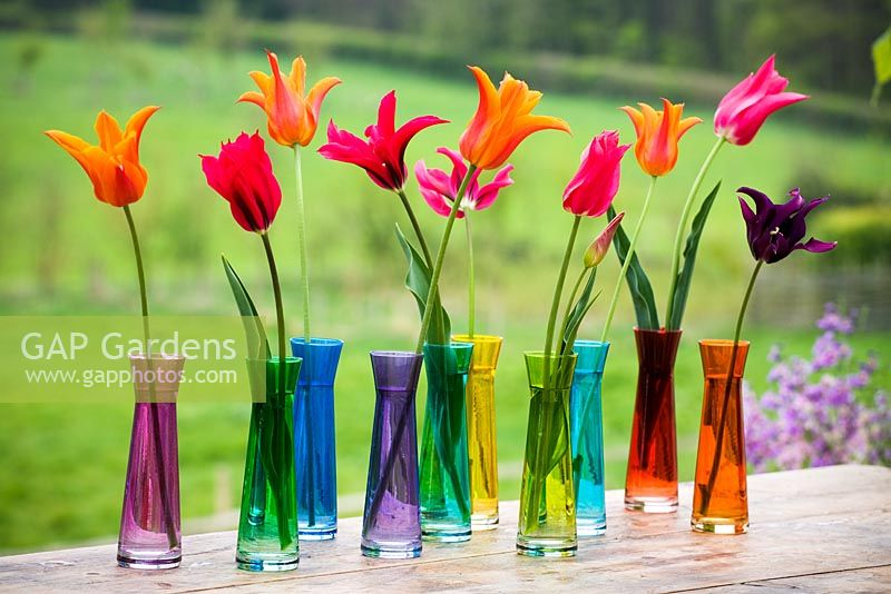 Gap Gardens Tulips In Coloured Single Stem Vases Image No