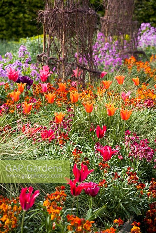 Tulipa 'Ballerina' and 'Doll's Minuet' with wallflowers and honesty in the cutting garden at Perch Hill