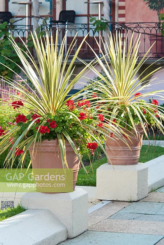 Gap Gardens Cordyline And Pelargoniums In Terracotta
