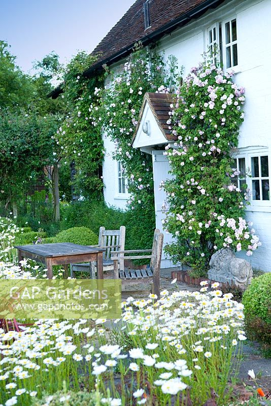 English country cottage with Leucanthemum - Ox eye Daisies and climbing Rosa 'Felicite et perpetue' in May