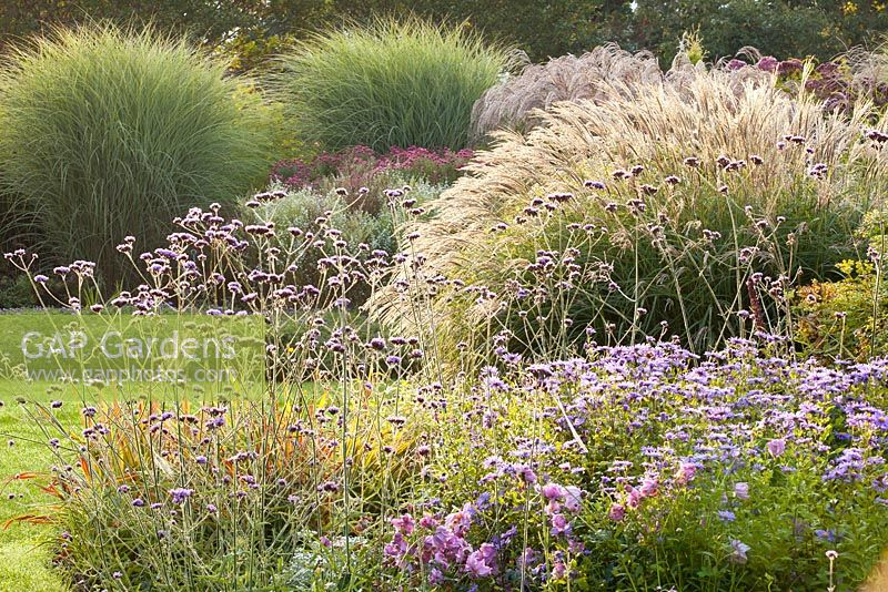 Miscanthus 'Kleine silberspinne', Aster frikartii 'Jungfrau', Miscanthus sinensis 'Morning light' - The Summer Garden and National Miscanthus Collection at The Bressingham Gardens, Norfolk, September