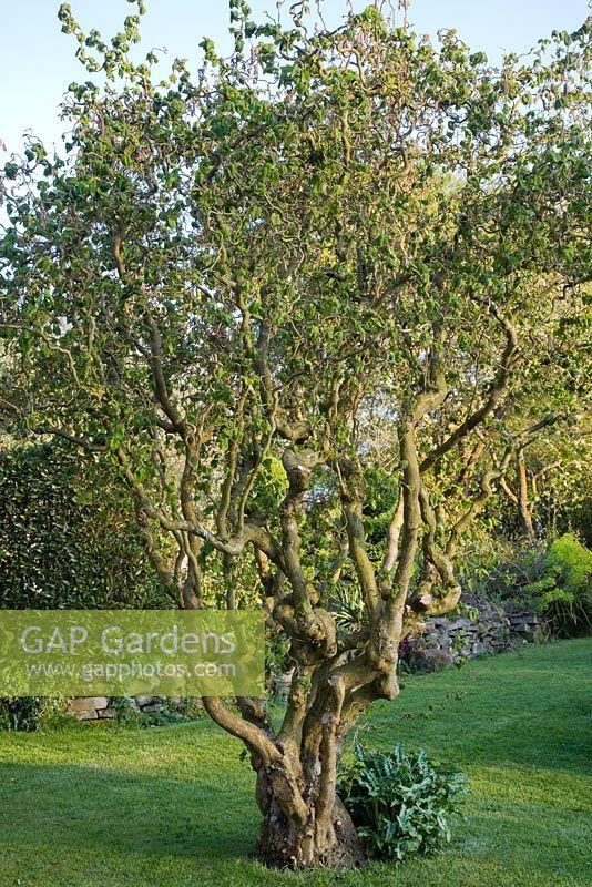 Gap Gardens Corylus Avellan Contorta Cork Hazel Image