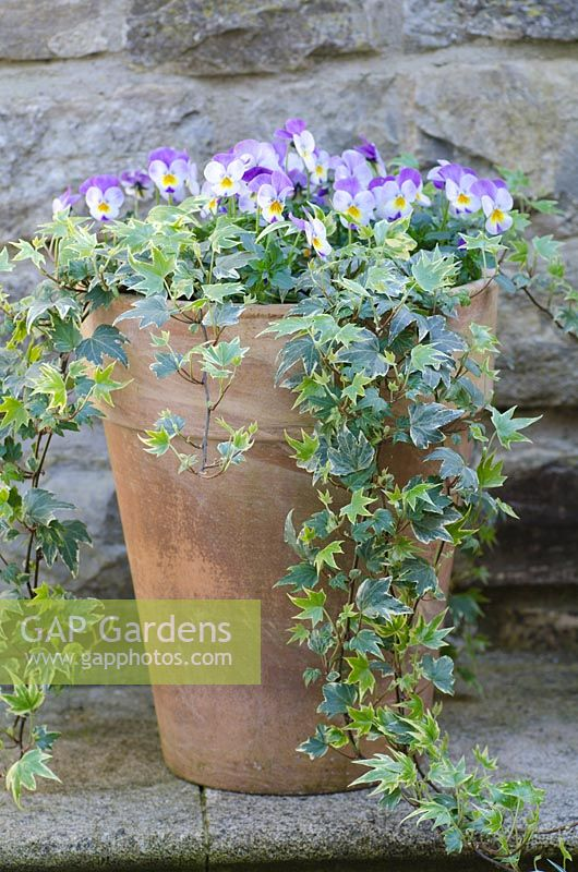 Purple Pansies with variegated Ivy in a terracotta pot