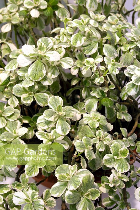 gap gardens coleus canina 39 variegata 39 syn plectranthus caninus scaredy dog plant image no. Black Bedroom Furniture Sets. Home Design Ideas