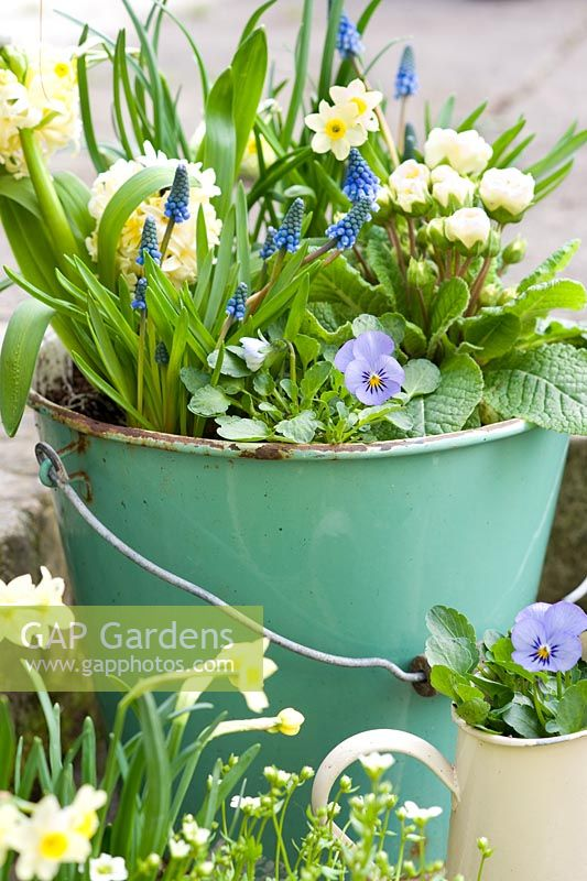 Blue and yellow spring flowers in vintage green enamel bucket including narcissus, violas, muscari, hyacinth and primula