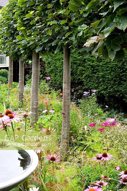 Pleached limes with late summer planting including Echinacea purpurea, asters and cosmos