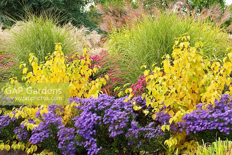 Aster amellus 'Veilchenkonigin', 'Violet Queen', Cornus sanguinea 'Midwinter Fire', Aster novae-angliae 'Septemberrubin' syn. Aster 'September Ruby', Miscanthus sinensis 'Morning Light' - Chinese Silver Grass, Miscanthus sinensis 'Zebrinus' in September