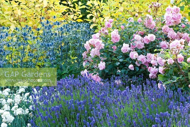 Rosa 'Felicia', Eryngium 'Big Blue' Lavender - Lavandula angustifolia 'Lavenite Petite' Pink Dianthus 'Mrs Sinkins' Red-Barked Dogwood  Cornus alba 'Aurea' in mixed border in the Fragrant Garden