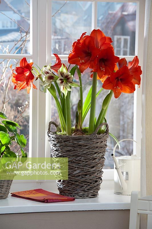 Gap gardens hippeastrum amaryllis 39 royal red 39 and for Amaryllis royal red arrosage