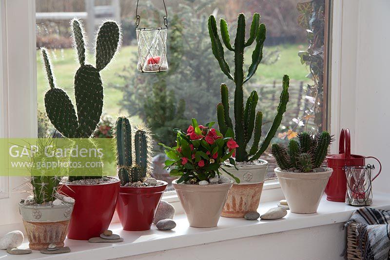 Great Cacti   Euphorbia Triangularis, Opuntia Pailana, Milii Vulcano In Pots On  Windowsill