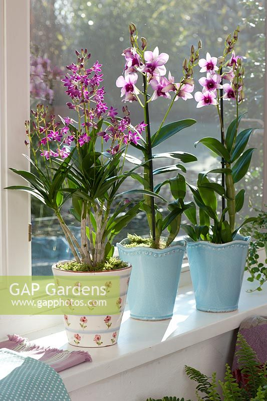 gap gardens dendrobium 39 berry oda 39 and d 39 polar fire 39 in pots on windowsill image no. Black Bedroom Furniture Sets. Home Design Ideas