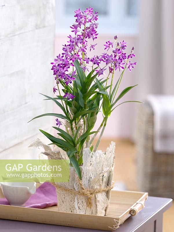 gap gardens dendrobium 39 berry oda 39 in pot decorated with. Black Bedroom Furniture Sets. Home Design Ideas