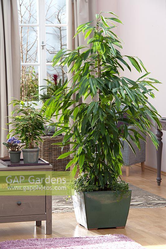 gap gardens ficus longifolia 39 amstel king 39 ficus. Black Bedroom Furniture Sets. Home Design Ideas