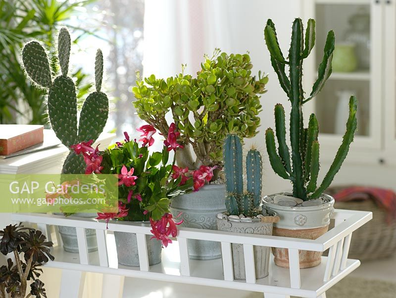 Cacti and Succulents - Opuntia pailana, Schlumbergera, Crassula ovata - money tree, Cereus, Euphorbia triangularis in containers