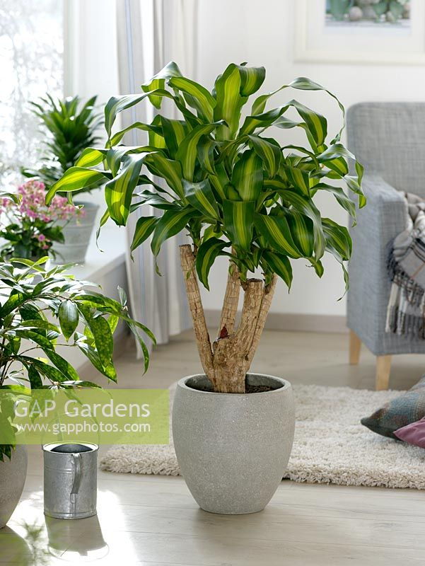 gap gardens dracaena fragrans 39 massangeana 39 surculosa 39 dragon tree image no 0320166. Black Bedroom Furniture Sets. Home Design Ideas