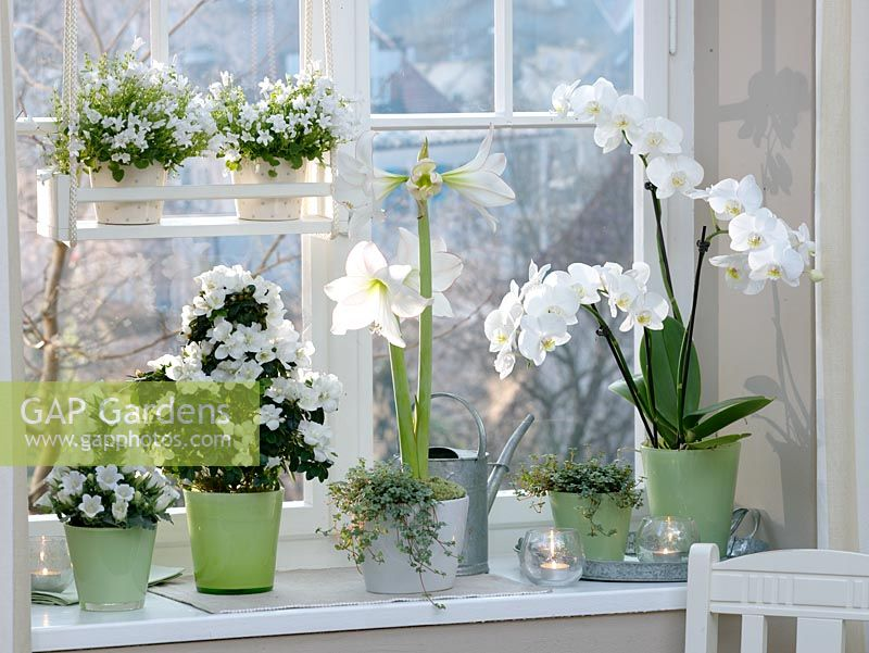 White flowering plants on windowsill