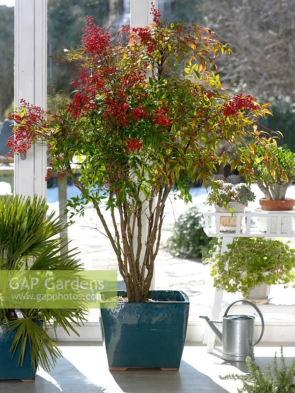 Gap gardens nandina domestica bamboo heaven holy for Domestica in svizzera