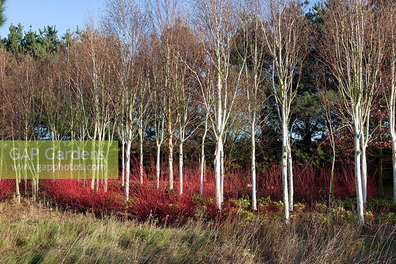 Gap gardens silver birch trees underplanted with cornus for Silver birch trees for small gardens