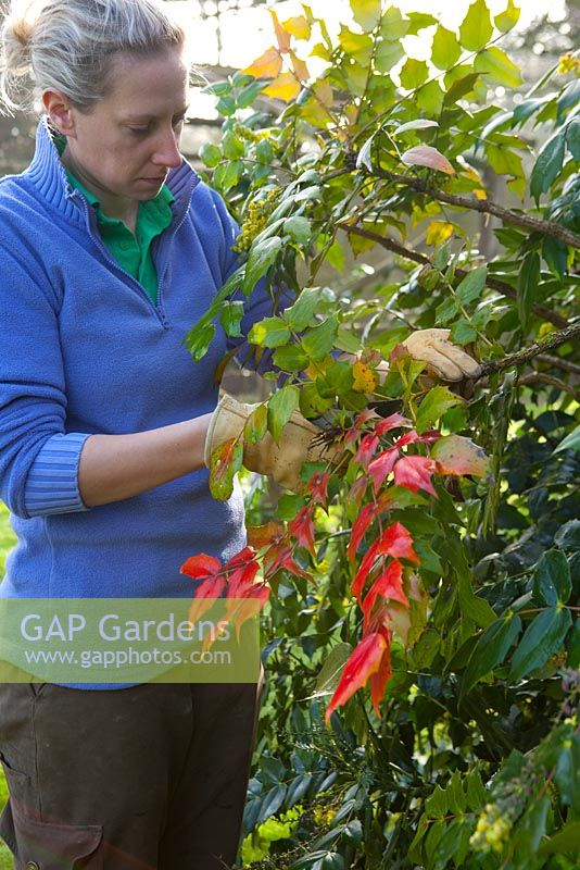 Mahonia x media. Cutting off the top rosette of leaves from leggy stems after flowering to encourage bushier growth.
