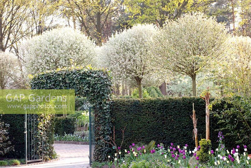 gap gardens arch leading through to tree lined drive with prunus fruticosa 39 globosa 39 image. Black Bedroom Furniture Sets. Home Design Ideas