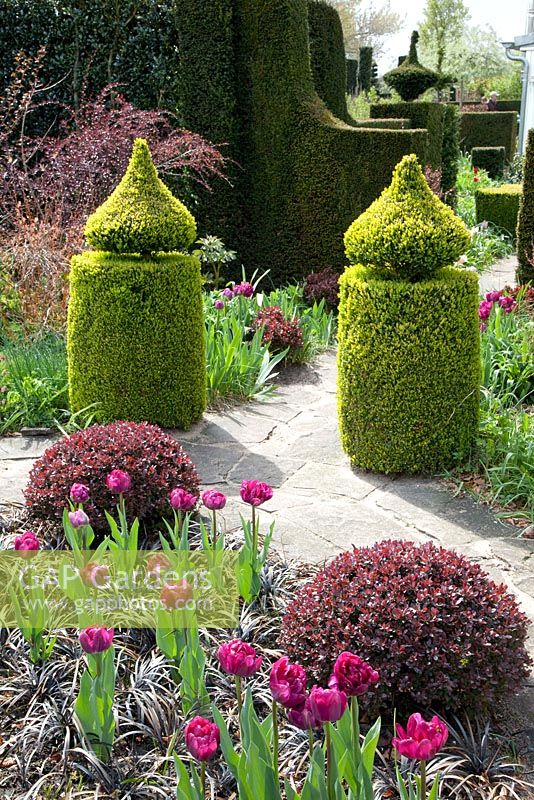 gap gardens formal garden with tulipa 39 blue diamond 39 buxus berberis thunbergii 39 atropurpurea. Black Bedroom Furniture Sets. Home Design Ideas