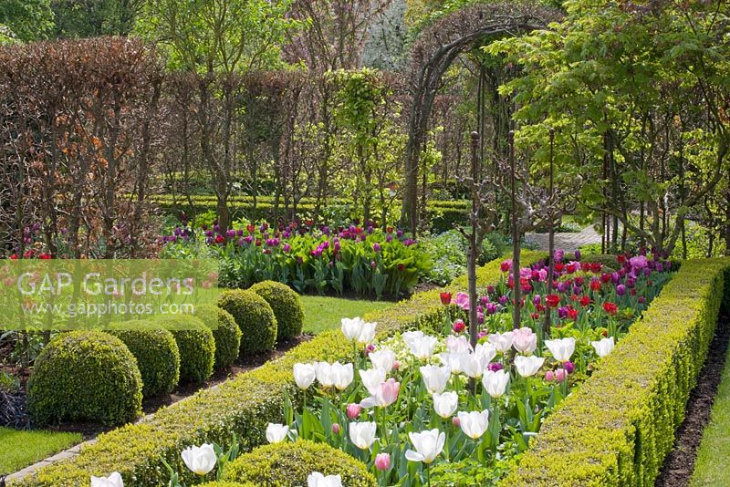 Formal garden with tulips. Tulipa 'Purissima', 'Ronaldo', 'Purple Rain', 'Blue Champion' and 'Red Wings'