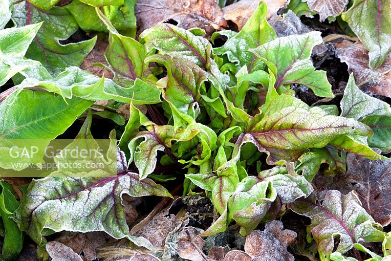 Spinach 'Bordeaux' in frost