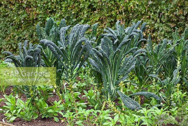Kale Cavalo Nero With Companion Planting Of Alstroemeria Friendship
