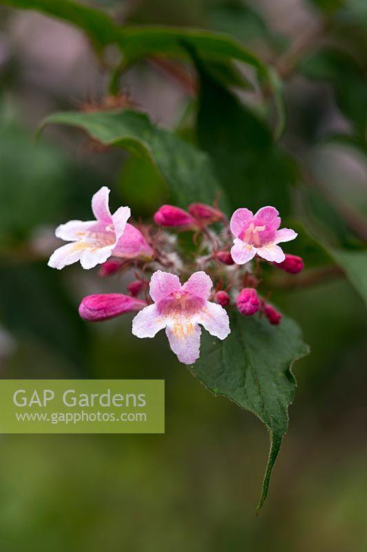 Gap gardens kolkwitzia amabilis pink cloud beauty bush flowers kolkwitzia amabilis pink cloud beauty bush flowers mightylinksfo