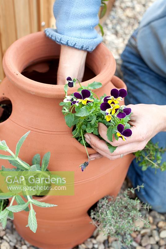 Step by step - Planting herbs and flowers in a herb planter -   Viola tricolor. Pot by Dunne and Hazell