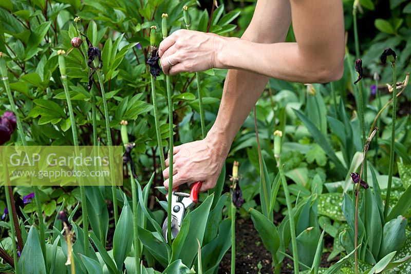 Step by step - Deadheading Tulipa 'Queen of Night' and 'Hermitage'