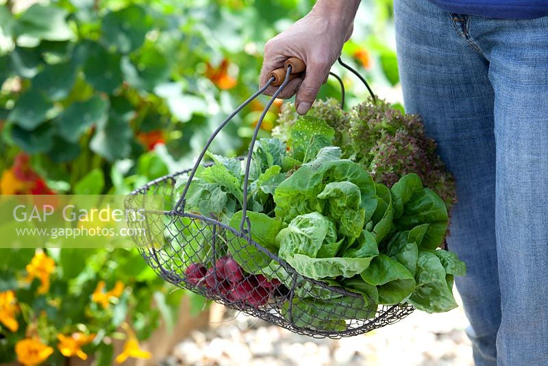 Step-by-step - Growing lettuces 'Lollo Rosso' and 'Little Gem' in raised bed