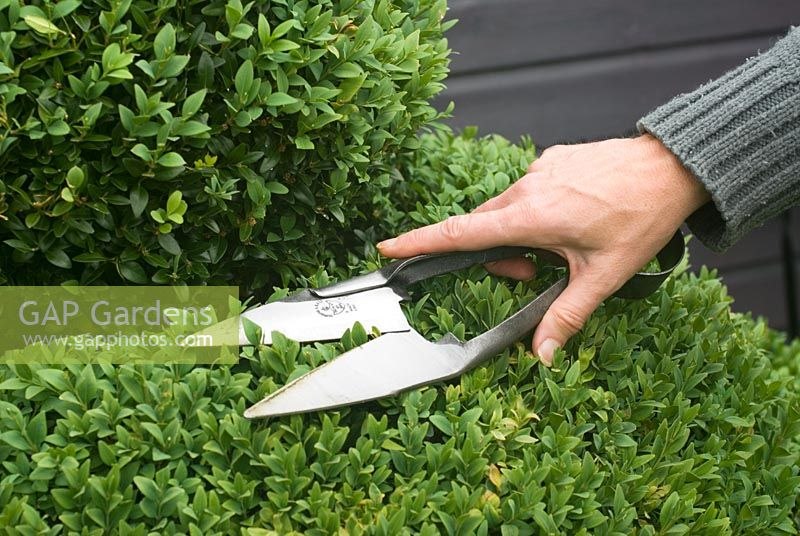 Cutting Box topiary with shears