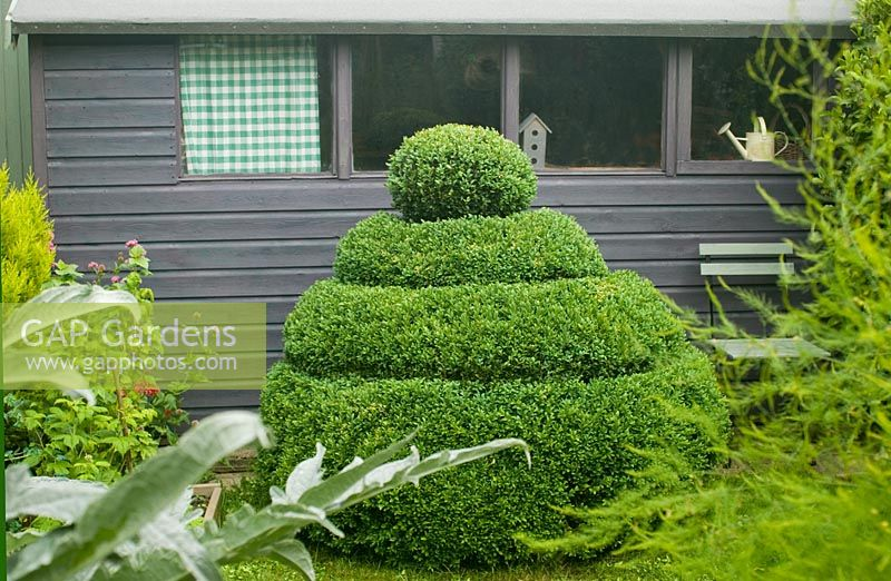 Box topiary next to shed
