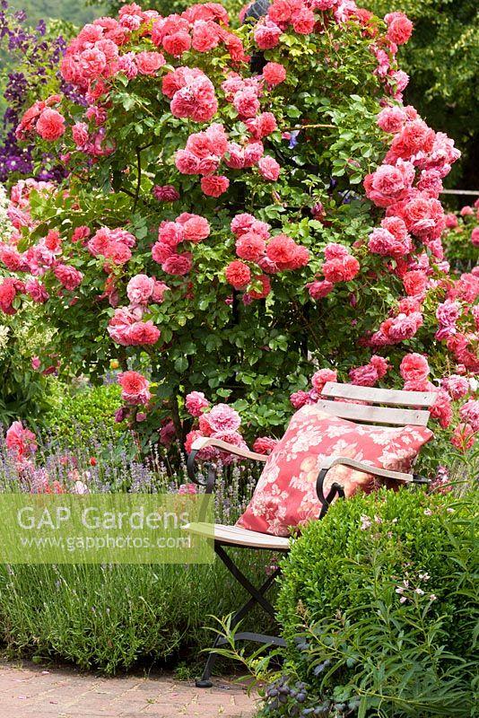 gap gardens garden chair next to shrub rose and lavender. Black Bedroom Furniture Sets. Home Design Ideas