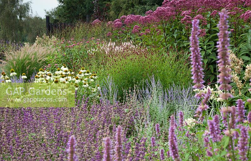 Gap gardens agastache 39 pink beauty 39 salvia verticillata for Sanguisorba officinalis red thunder