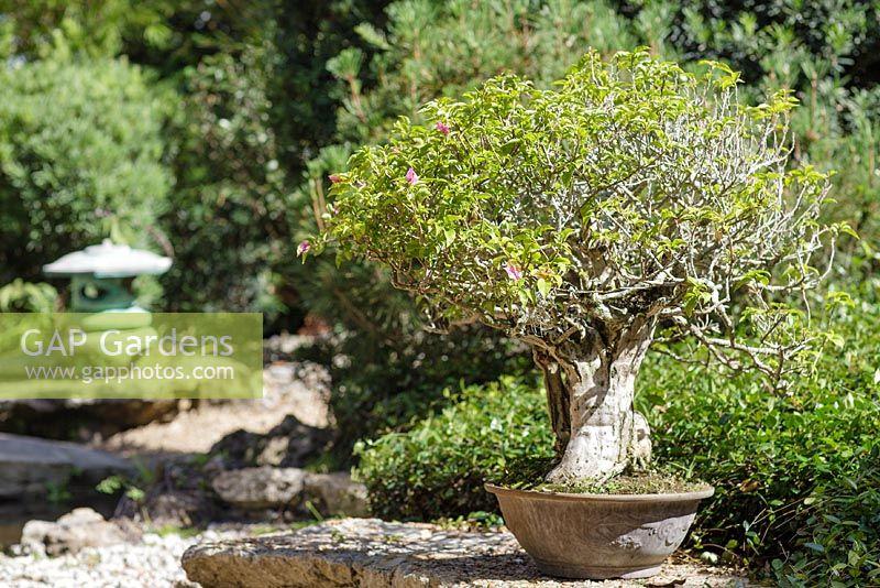 Heathcote Botanical Gardens: 25 Year-old Bougainvillea Bonsai In The