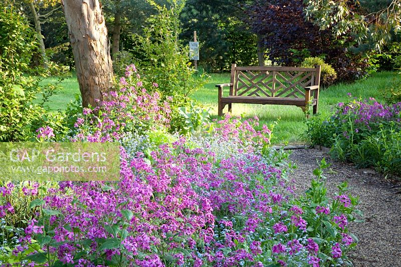 Mixed border with Lunaria annua, Myosotis, tree and wooden bench