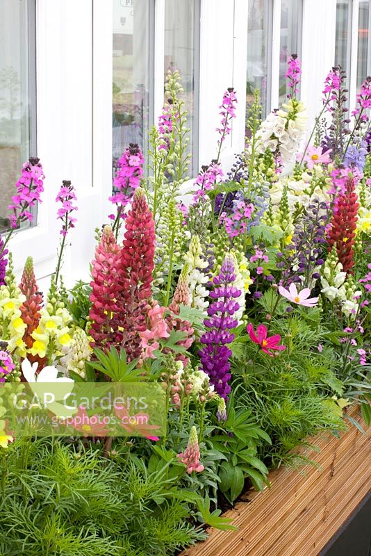 Wooden window box with Lupinus, Cosmos bipinnatus and Erysimum