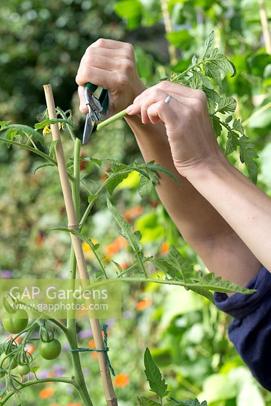 Step by step for growing tomatoes in containers - cutting side shoots to encourage growth
