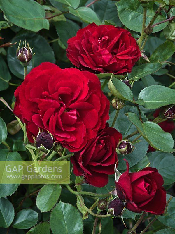 gap gardens rosa 39 lili marlene 39 floribunda rose image. Black Bedroom Furniture Sets. Home Design Ideas