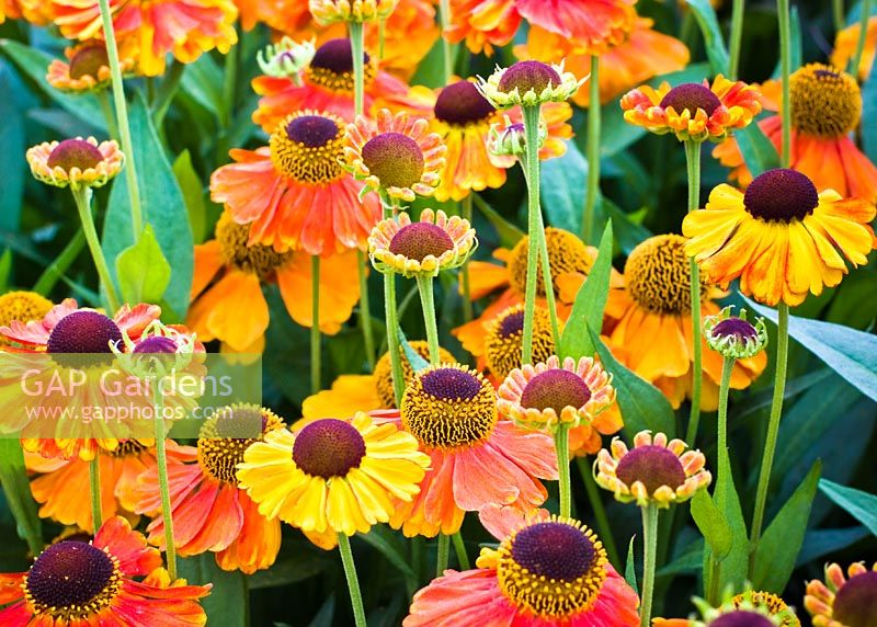 Helenium 'Sahin's Early Flowerer' AGM