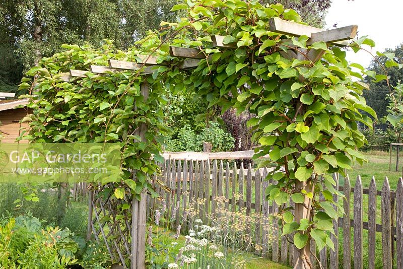 gap gardens pergola with kiwi actinidia deliciosa. Black Bedroom Furniture Sets. Home Design Ideas