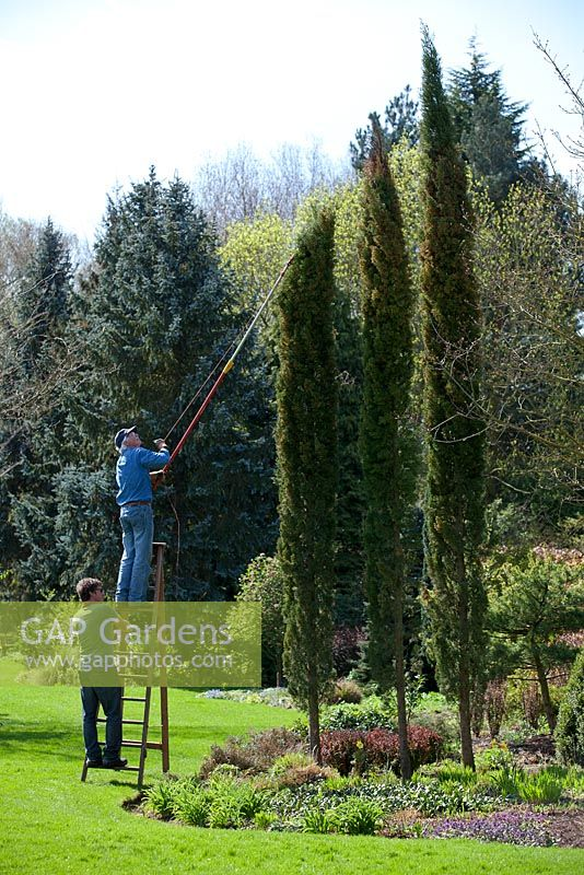 GAP Gardens - Cutting the top off a Cupressus sempervirens var ...