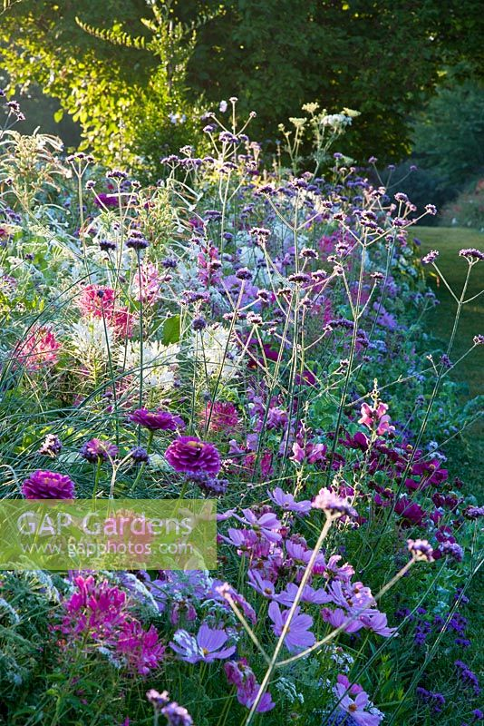 Summer border with Ammi majus 'Queen of Africa', Antirrhinum majus 'Rocket F1 Orchid', Brassica oleracea 'Nero di Toscana', Cerinthe major 'Pride of Gibraltar', Cleome spinosa 'Sparkler Rose' and 'Sparkler White', Coreopsis 'Pink Lady', Cosmos bipinnatus 'Sonata Rosa' and 'Sonata White'