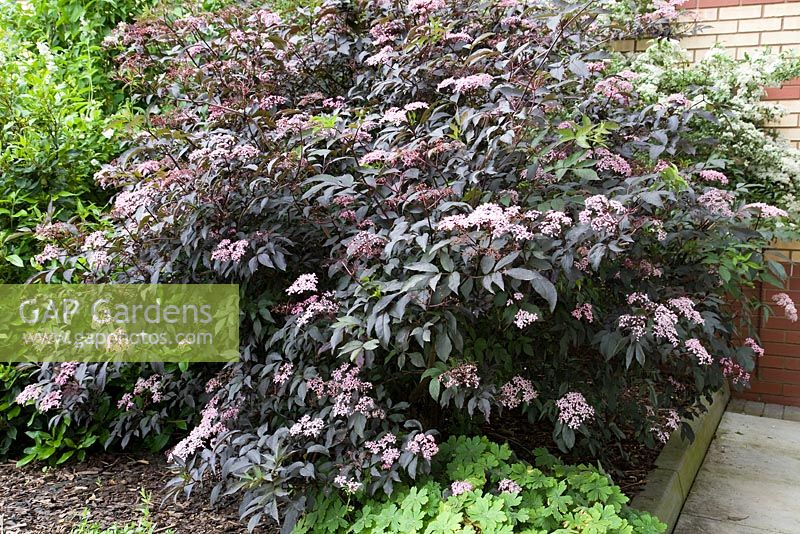 gap gardens sambucus nigra f porphyrophylla 39 gerda 39 syn black beauty image no 0340984. Black Bedroom Furniture Sets. Home Design Ideas