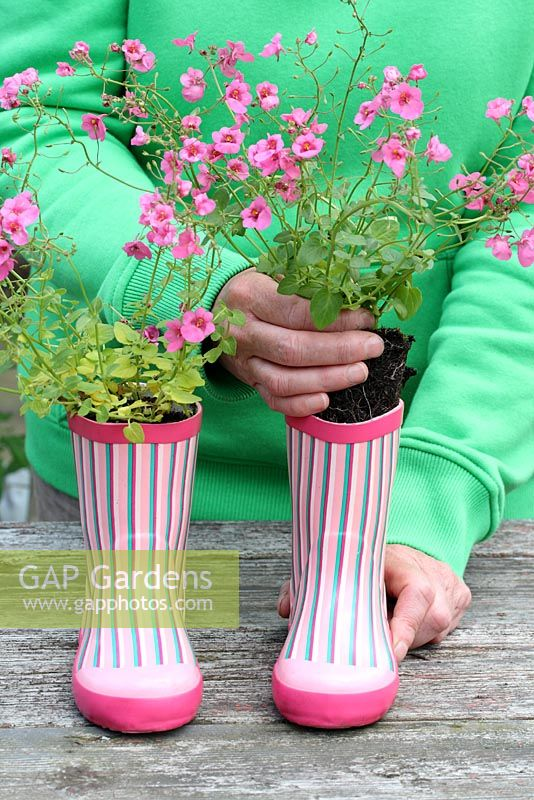 Step by step of planting a pair of recycled kids wellies with Diascia 'Little Dancer' - Placing the plants inside the wellies