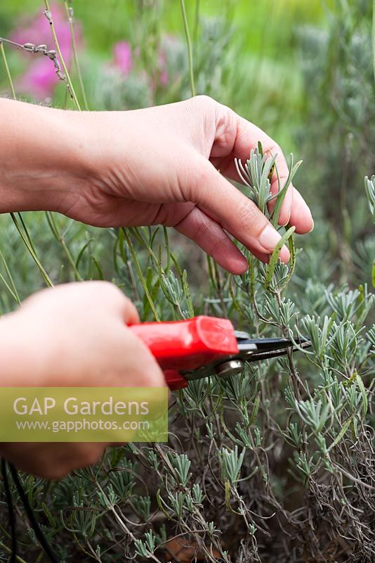 Propagation of lavender - Taking cuttings from mature plant in mid August