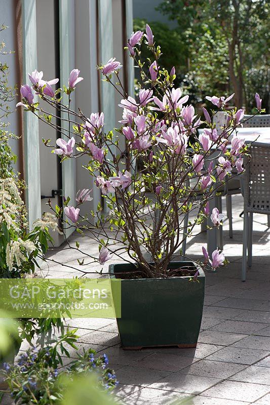 gap gardens magnolia fraseri 39 george henry kern 39 image. Black Bedroom Furniture Sets. Home Design Ideas