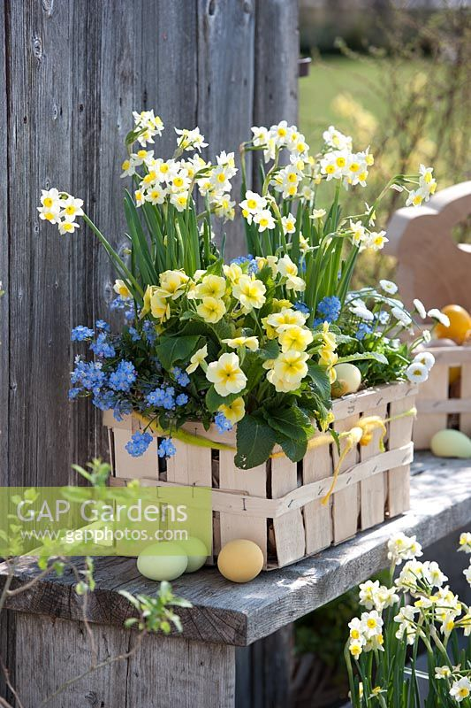 Spring container of Narcissus, Myosotis, Bellis and Primula